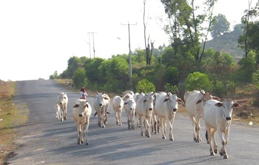 Стадо белых коров