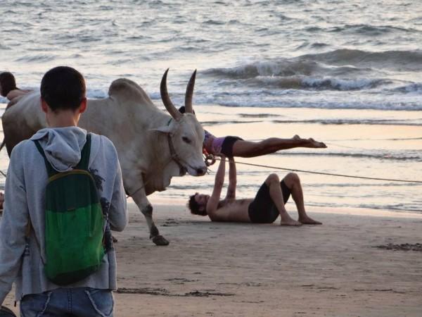 Корова, бредущая мимо людей, позирующих закату!